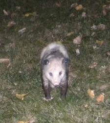 opossum hunting lawn grub