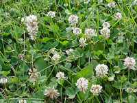 White Clover Graphi